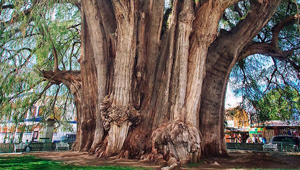 Santa María El Tule: Junto a su bonita iglesia uno de los mayores árboles del mundo de dos mil años.
